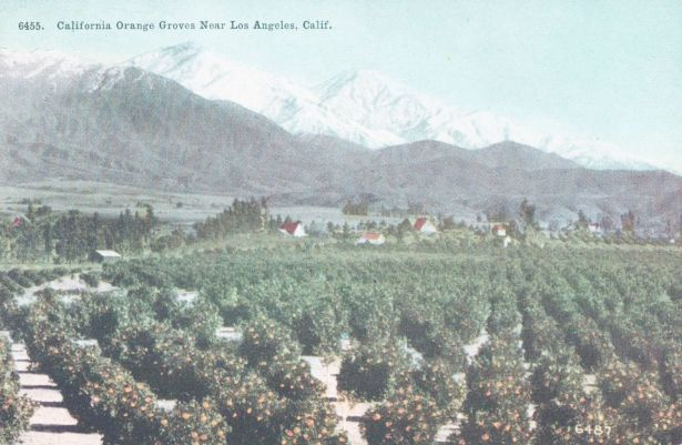 oranges_groves_los_angeles